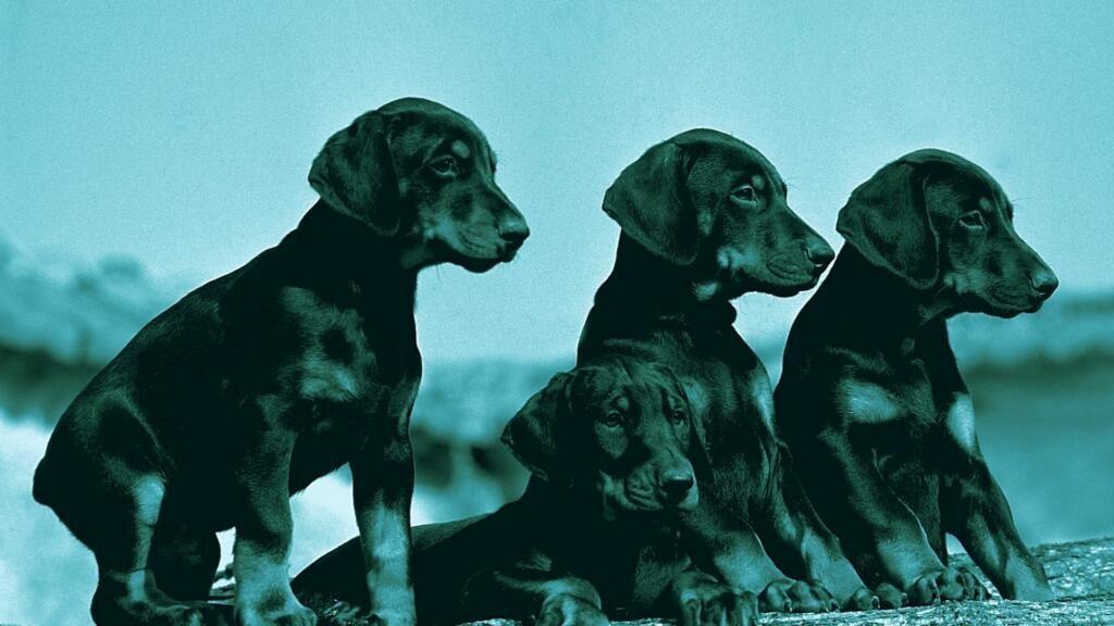 Cardiomiopatia dilatativa del cane