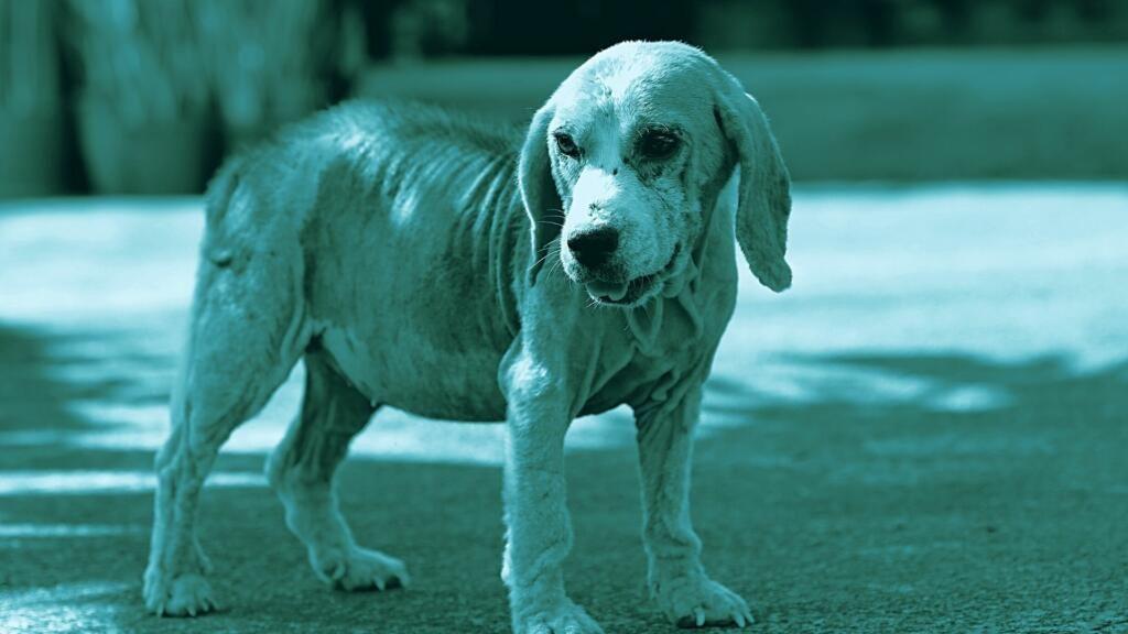 rogna rossa nel cane demodettica