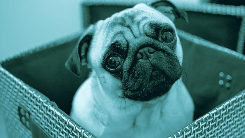 sindrome del cane brachicefalo