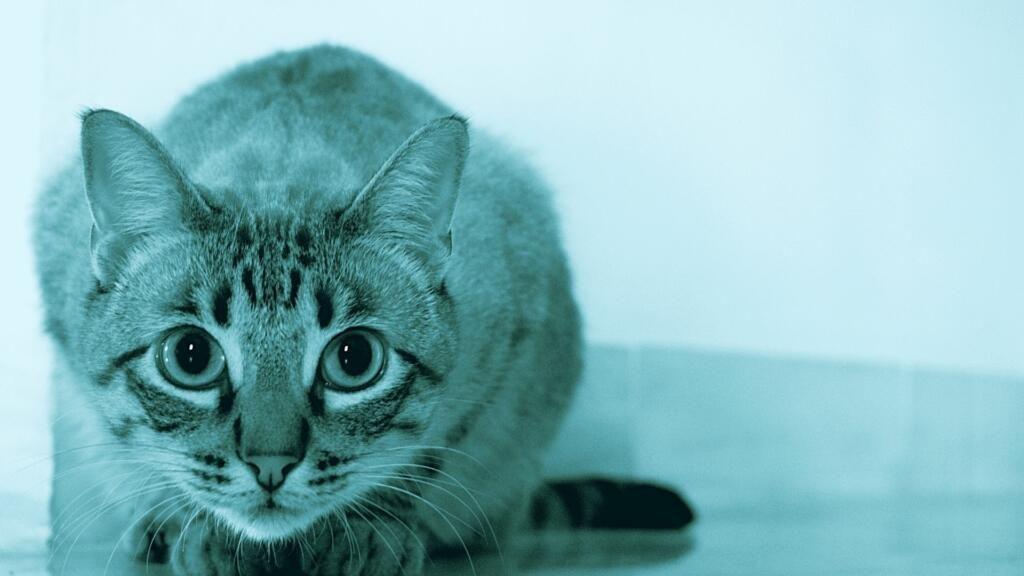 ipertensione gatto