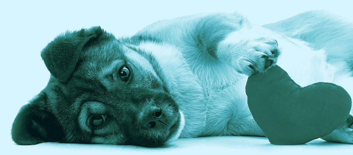 Valvulopatia mitralica nel cane anziano